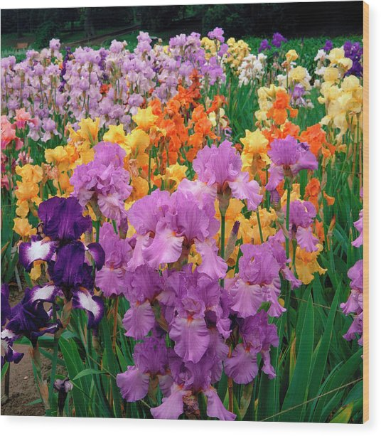 Iris. Wood Print by Anthony Cooper/science Photo Library