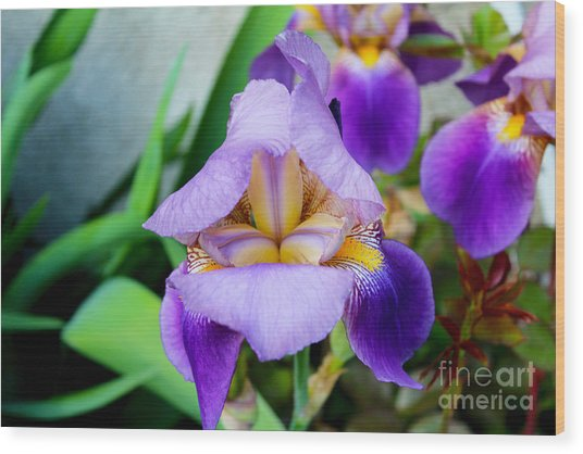 Iris From The Garden Wood Print