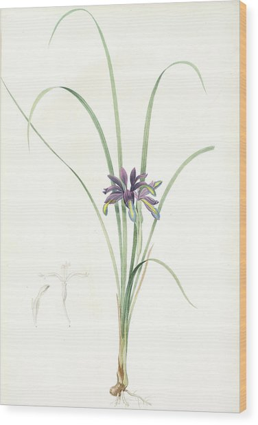 Iris Graminea, Iris à Feuilles De Gramen Wood Print