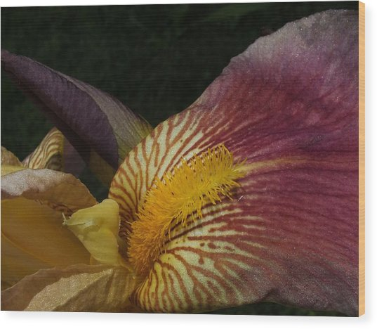 Iris In Pink And Yellow Wood Print