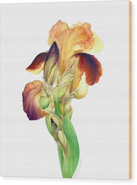 Iris Indian Chief / Sold Wood Print