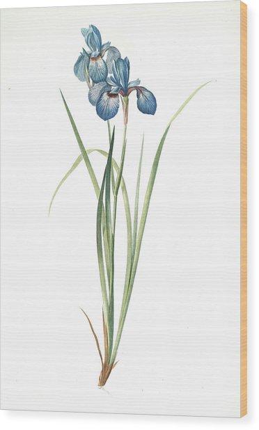 Iris Pratensis, Iris De Prés, Redouté, Pierre Joseph Wood Print