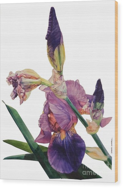 Watercolor Of A Tall Bearded Iris In A Color Rhapsody Wood Print