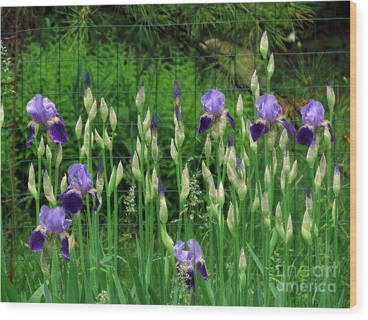 Irises Along The Fence Wood Print