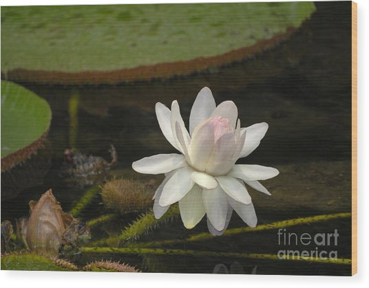 Ischian Water Lily Wood Print