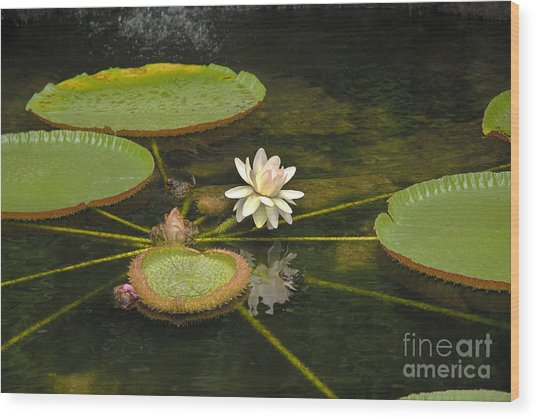 Ischian Waterlily Wood Print