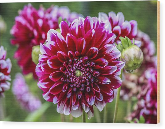 Its A Dahlia Dahling Wood Print by CarolLMiller Photography