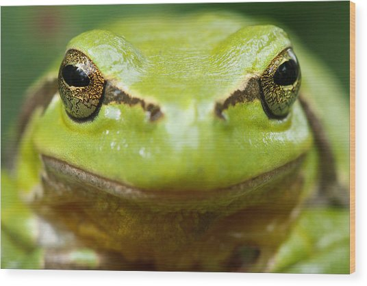 It's Not Easy Being Green _ Tree Frog Portrait Wood Print