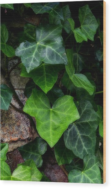 Ivy Over Rocks Wood Print