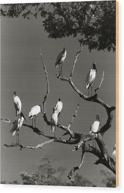 Jabiru Birds Wood Print