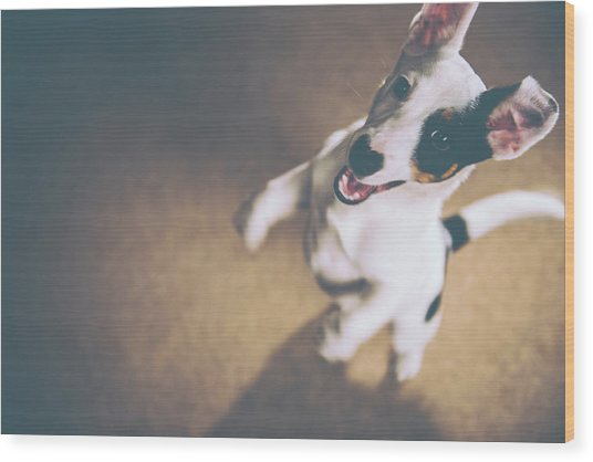 Jack Russell Jumping Wood Print by James Farley