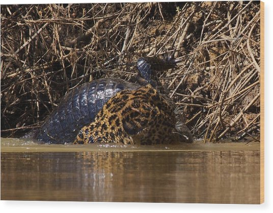 Jaguar Vs Caiman 3 Wood Print