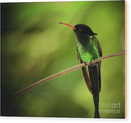 Jamaican Hummingbird 2 Wood Print