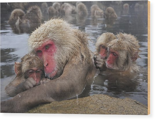 Japanese Macaque Grooming Mother Wood Print
