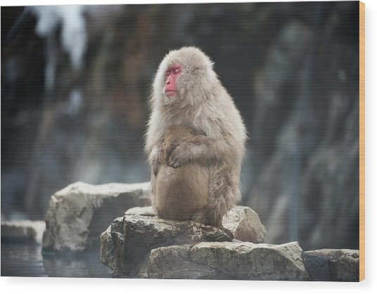 Japanese Macaque With Young Wood Print by Dr P. Marazzi