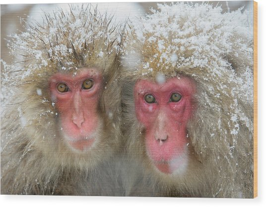 Japanese Macaques Wood Print by Dr P. Marazzi