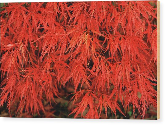 Japanese Maple 'dissectum Nigrum' Wood Print by Andrew Ackerley/science Photo Library