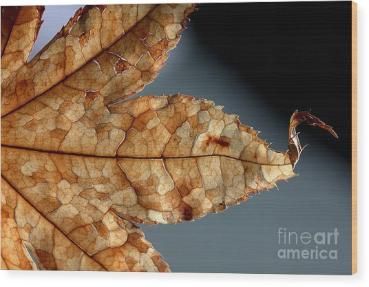 Japanese Maple Leaf Brown - 1 Wood Print