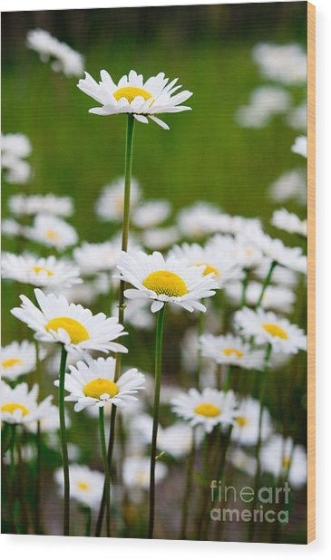 Jasper - Oxeye Daisy Wildflower 2 Wood Print