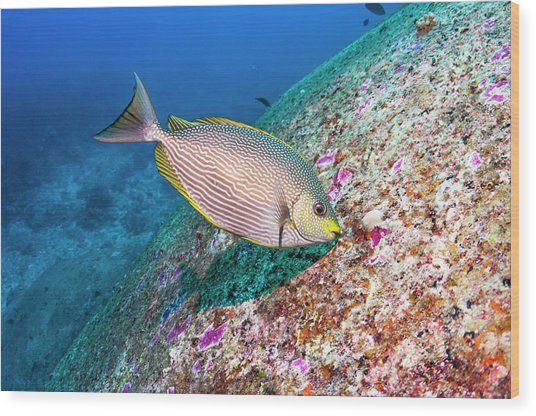 Java Rabbitfish Grazing On Algae Wood Print by Georgette Douwma/science Photo Library