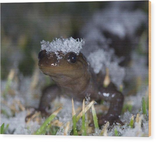 Jefferson Salamander Wood Print by Brian Magnier