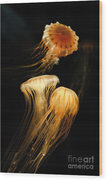 Jellyfish Trio Floating Against A Black Wood Print