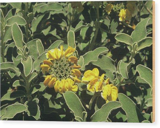 Jerusalem Sage (phlomis Fruticosa) Wood Print by Sally Mccrae Kuyper/science Photo Library
