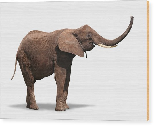Joyful Elephant Isolated On White Wood Print