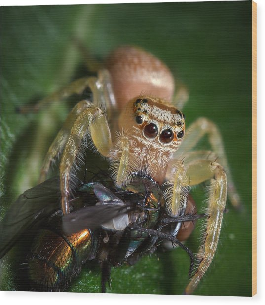 Jumping Spider 3 Wood Print