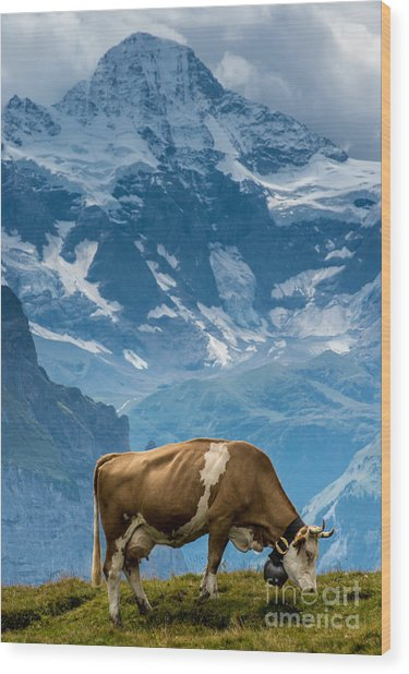 Jungfrau Cow - Grindelwald - Switzerland Wood Print