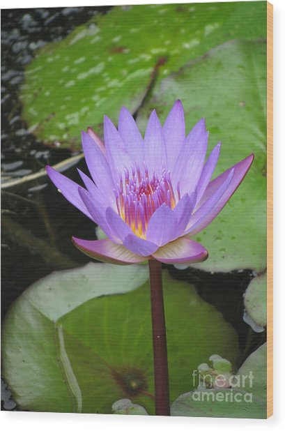 Just A Water Lily  Wood Print