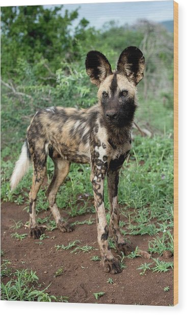 Juvenile African Hunting Dog Wood Print by Tony Camacho/science Photo Library