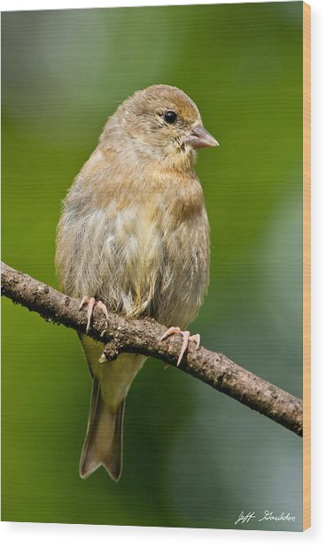 Juvenile American Goldfinch Wood Print