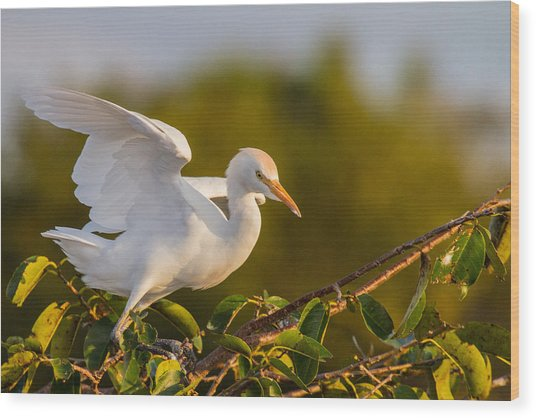 Juvenile Cattle Egret Wood Print