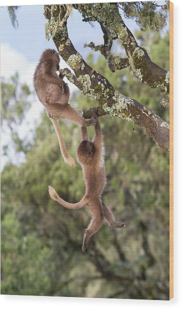 Juvenile Gelada Baboons At Play Wood Print by Peter J. Raymond