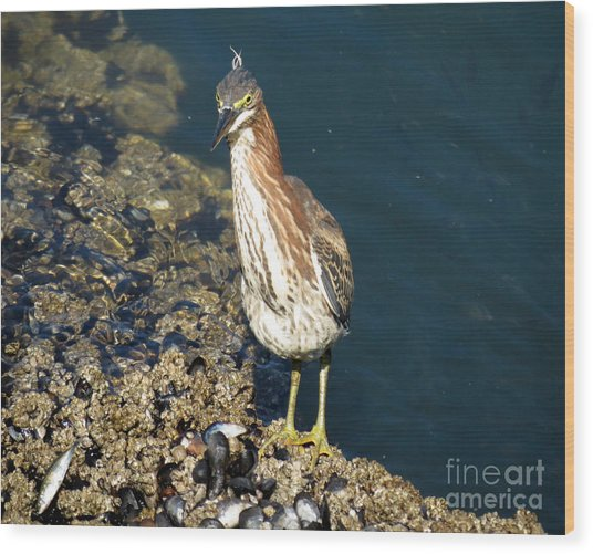 Juvenile Green Heron II Wood Print