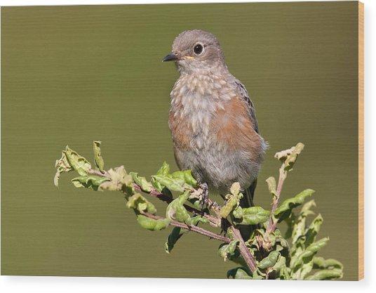 Juvenile Western Bluebird Wood Print