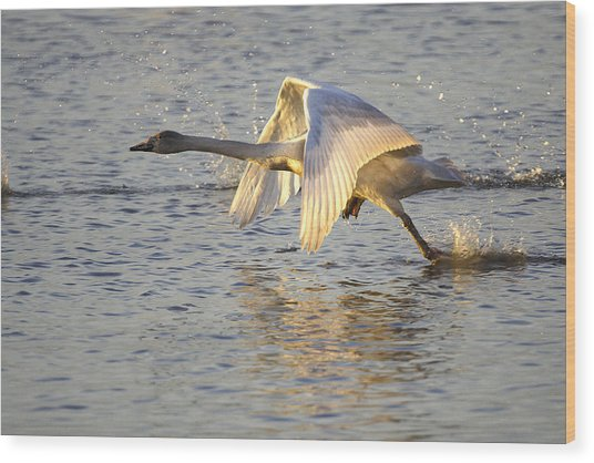 Juvenile Whooper Swan Taking Off Wood Print