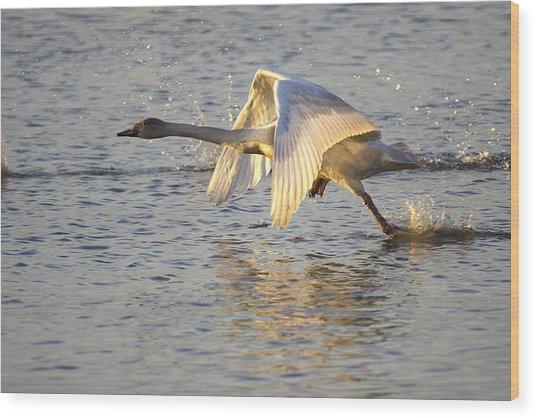 Juvenile Whooper Swan Taking Off Wood Print