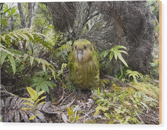 Kakapo Male In Forest Codfish Island Wood Print