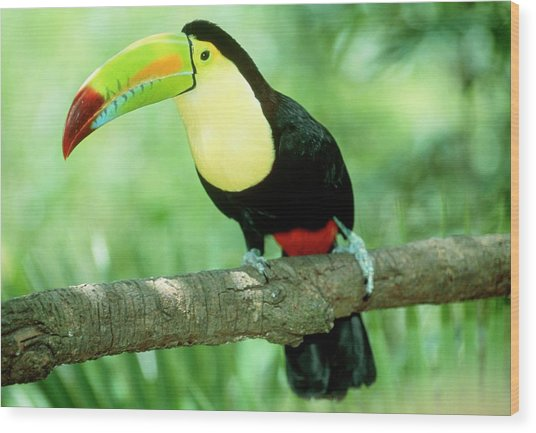 Keel-billed Toucan (ramphastos Sulfuratus) In Tree Wood Print