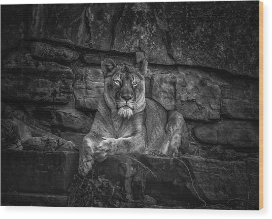 Keen Eyed Lioness Wood Print