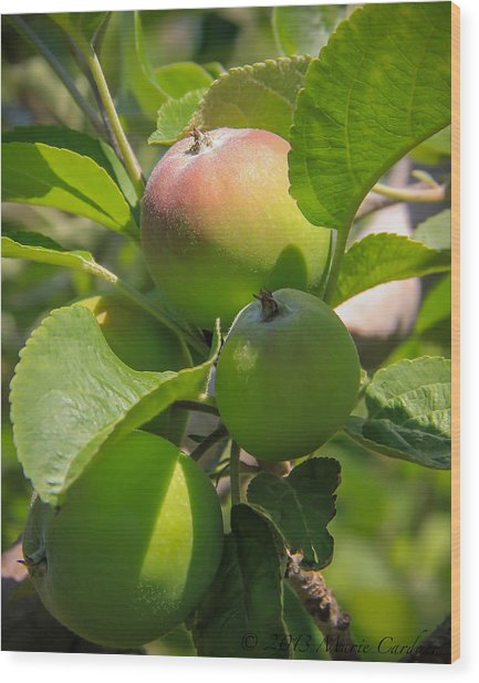 Kelowna Apples II Wood Print by Marie  Cardona