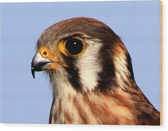 Kestrel Closeup Wood Print