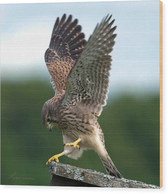 Kestrel's Performance Wood Print