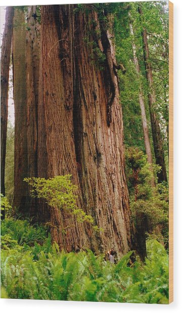 Kevin And The Big Tree - Redwood National Forest Wood Print