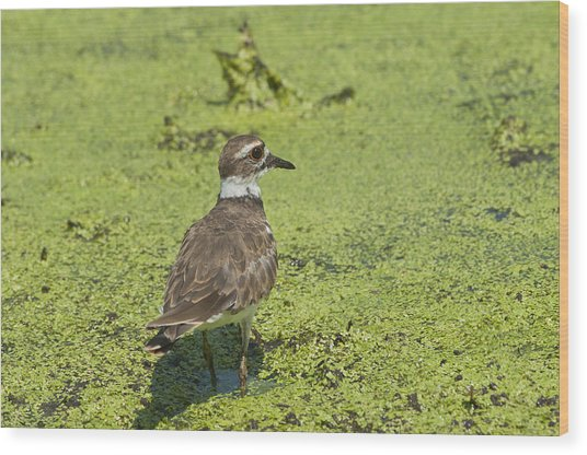 Killdeer - 6884 Wood Print