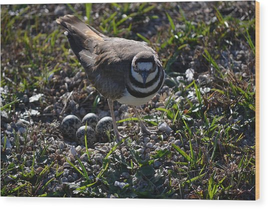 Killdeer Guarding Her Eggs Wood Print