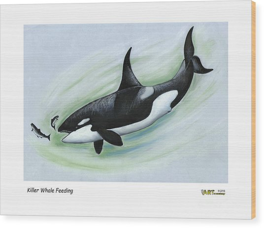 Killer Whale Feeding Wood Print