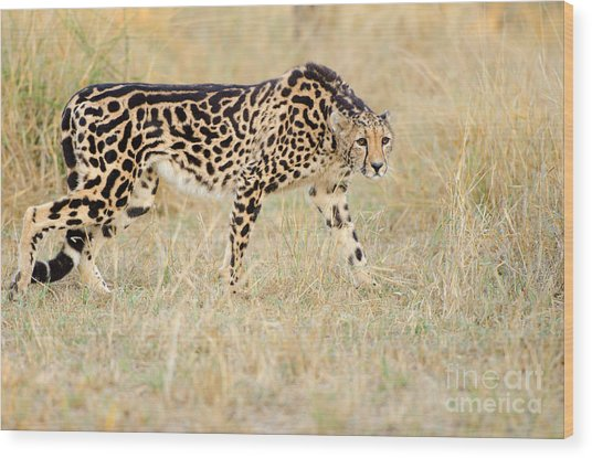 King Cheetah - South Africa Wood Print by Birdimages Photography